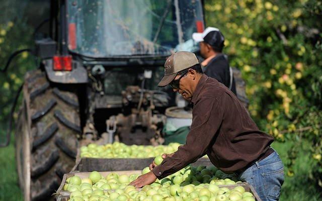 Los trabajadores agrícolas migrantes recogen manzanas en una granja en Brockport en 2013. El Departamento de Servicios Pastorales de la Diócesis de Rochester está patrocinando una recolección de alimentos y suministros para el 13 de junio para ayudar a los trabajadores agrícolas necesitados. (Foto de archivo)